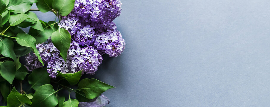 Spring flowers of lilac on a lilac background with place for text. Banner.