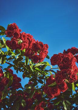 red roses against sky