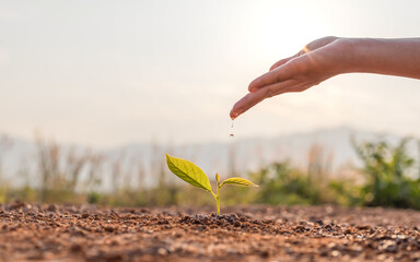 Fototapeta Hand nurturing and watering young baby plants growing in germination sequence on fertile soil at sunset background