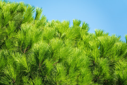 Green pine tree with long needles on a background of blue sky. Freshness, nature, concept. Pinus pinea