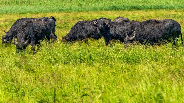 Water buffalos grazing on a meadow