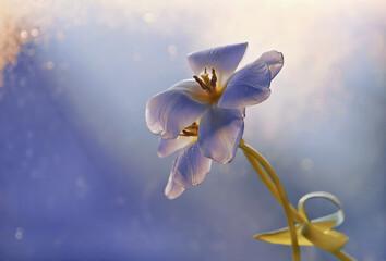 Fototapeta Tulipan na niebieskim tle w promieniach światła
