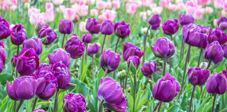 Spring Tulip Ball in Nikitsky Botanical Garden in Crimea