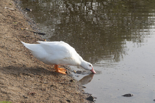 White goose drinking on the bank of a pond