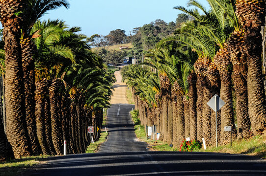 Palm-lined road in Barossa Valley, Seppeltsfield Road, South Australia, in the late afternoon.