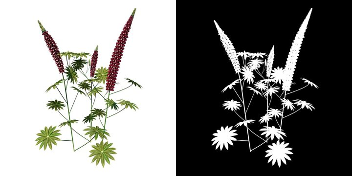 Front view of Plant (Lupinus angustifolius narrowleaf lupin red 1) Tree png with alpha channel to cutout made with 3D render