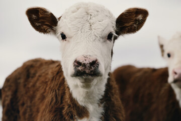 Wall Mural - Hereford calf portrait with speckled nose close up on beef cow farm.
