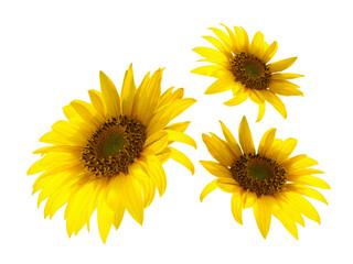 Fototapeta A few Yellow sunflowers isolated on white background