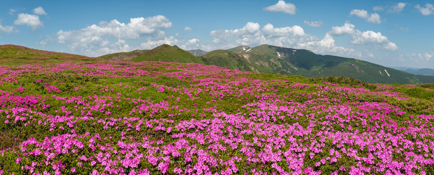 Blossoming slopes (rhododendron flowers) of Carpathian mountains.