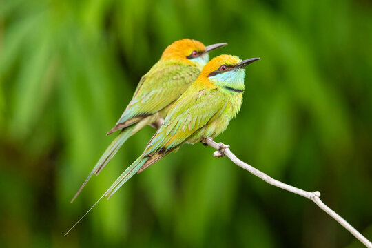 A pair of Green Bee-eaters perching on a perch