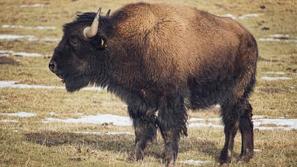 Fototapeta american bison