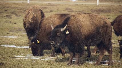 buffalo in the field - fototapety na wymiar
