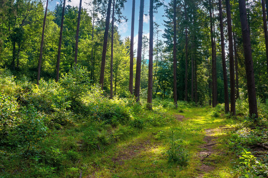 mixed forest on the sunny summer day. grassy ground in dappled light. freshness of the carpathian woods