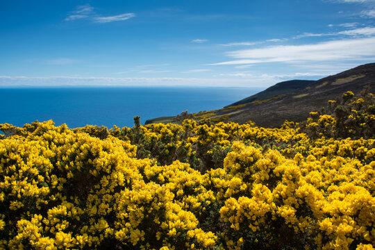 Coastal landscape with flowering gorse, Badbea, Garve, Scotland, UK