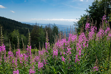 blooming fireweed, willow herb flower on the mountain slope with Tatra Mountains in the background