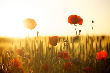 Obraz field of poppies - fototapety do salonu