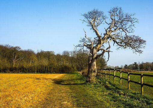 A lone elm tree in a Lancashire field.
