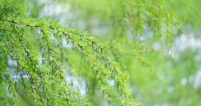 fluffy green larch branches of tree Larix decidua, European Larch tree twigs, natural spring background. Green young larch needles.