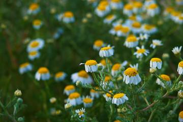 Fototapeta kwiat roślina wiosna natura płatki łąka