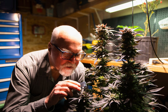 Senior man looking at cannabis plant with magnifying glass
