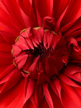 Bright red dahlia flower macro shot. Floral background