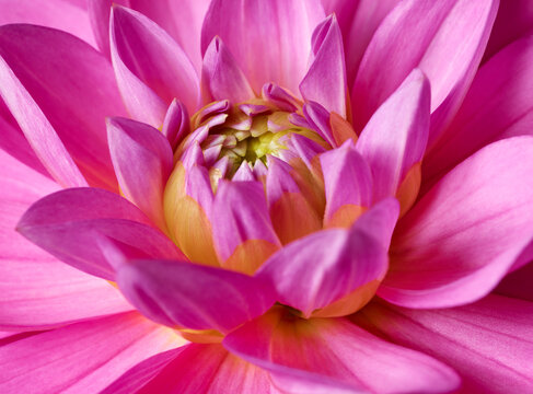 Bright pink flower macro shot