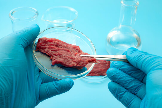 Food engineering, lab grown beef and the diet of the genetically modified foods with scientist analyzing sample of synthetic meat in glass petri dish isolated on blue background in science laboratory