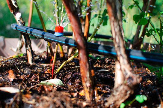Drip irrigation. The photo shows the irrigation system in a raised bed. Blueberry bushes sprout from the litter against drip irrigation
