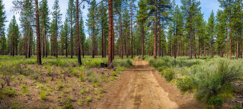 Panoramic view of a Pine forest and fire road during summer