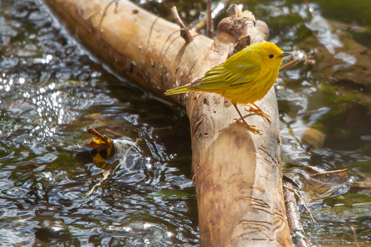 Yellow Warbler perched on a log in the river.