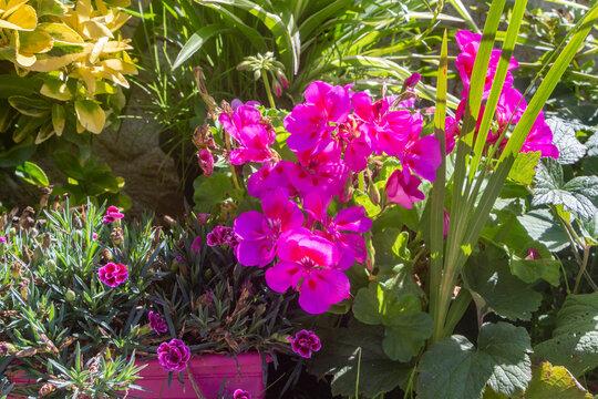 Rainbow pink and geranium flowers in a garden during summer