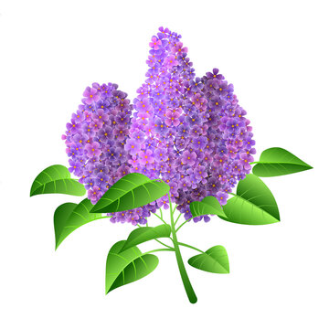 Vector illustration of purple branch lilac flower isolated on a white background.