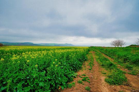 Blooming canola field. Rape on the field in summer
