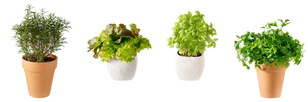 Potted aromatic food herbs collection for garden or home. Basil, rosemary, parsley plants in clay pots isolated