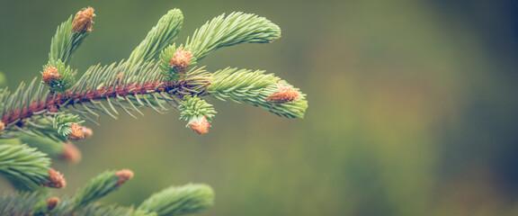 Fototapeta Fresh green pine branch spring background