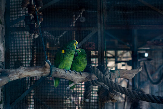Green Parrots In Love Perching In Cage At Zoo