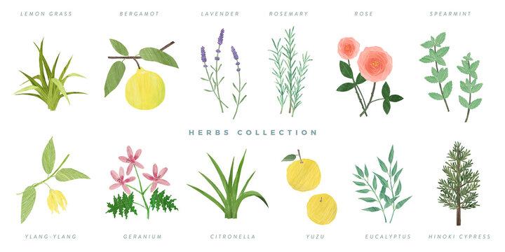 Set of hand drawn herbs illustration, isolated on white background -lemon grass, bergamot, lavender, rosemary, rose, spearmint, ylang-ylang, geranium, citronella, yuzu, eucalyptus, hinoki