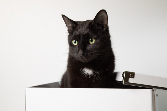 An adult black cat sits inside a white box and looks into the camera. White background, place for text