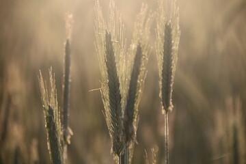 Fototapeta Close-up Of Wheat Growing On Field