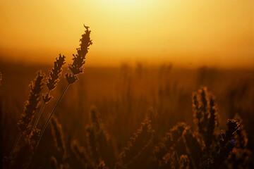 Fototapeta Close-up Of Stalks In Field Against Orange Sky