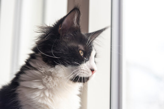 Main coon young male cat looking out the window