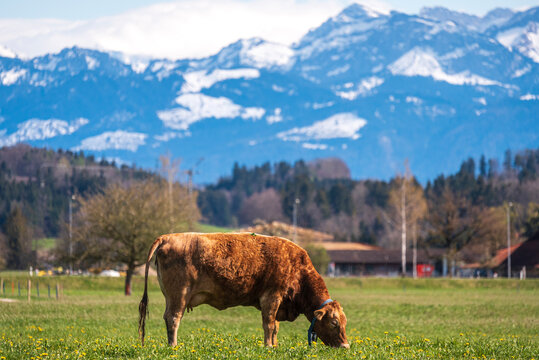bucolic view of a cow grazing with the swiss alps in the background