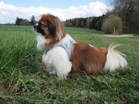 Kleiner Hund in einer Wiese beim Spaziergang - Waldrand, Feldweg, Wandern, Spaniel