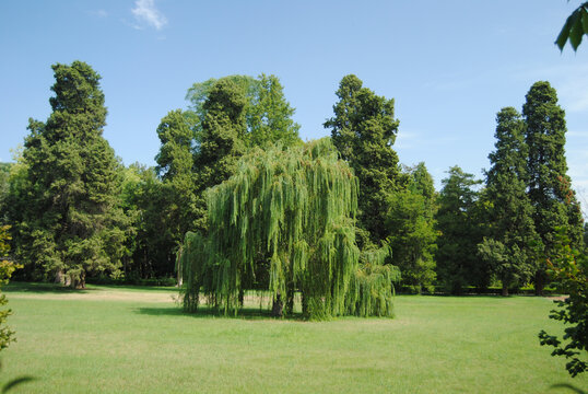 Beautiful shot of weeping willow tree