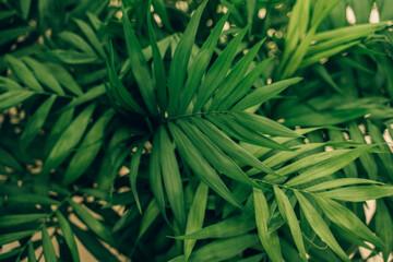 Obraz green leaves of the palm tree canary palm green background  - fototapety do salonu