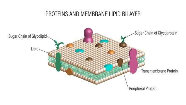 Proteins and Membrane Lipid Bilayer