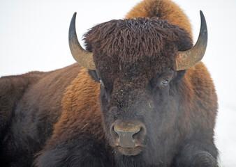 Amerikaanse bizon op wit wordt geïsoleerd