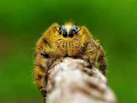 Yellow Jumping Spider Look At Me