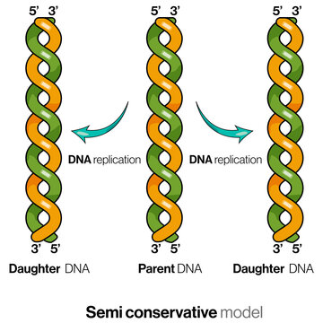 Illustration of semiconservative mode of DNA replication.