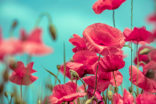 Blooming Poppies field. Wild poppies (Papaver) against sky. Flower nature background